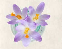"Fine Art Flower Photography Print """"Purple Crocus No. 2"""""