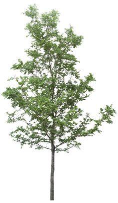 Дерево PNG фото
