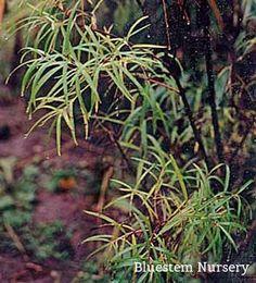 Salix elaeagnos 'Angustifolia' - Rosemary Willow
