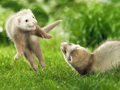 Playing ferrets