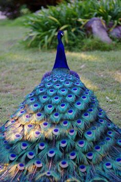 Peacock is the national bird of India and it's one of the most colorful and beautiful birds in the world. Pretty Birds, Love Birds, Beautiful Birds, Animals Beautiful, Cute Animals, Stunningly Beautiful, Beautiful Pictures, Exotic Birds, Colorful Birds