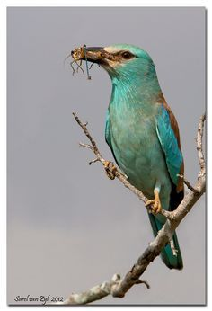The European Roller - Coracias garrulus, is the only member of the roller family of birds to breed in Europe. Its overall range extends into the Middle East and Central Asia and Morocco. Photo by Sarel van Zyl.