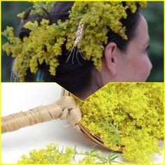 Sânzienele, sărbătoare tămăduitoare. Micile flori galbene ajută la detoxifierea sistemului limfatic și în bolile de tiroidă Japanese, Ethnic Recipes, Plant, Japanese Language