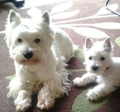 :-)best dogs in the world.  Love my Westie