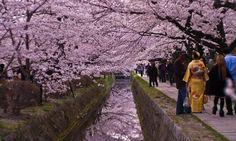 """#Hanami   La passeggiata del filosofo di Kyoto, #Giappone http://www.viaggidellelefante.it/tours/356_hanami-la-fioritura-dei-ciliegi-in-giappone Il fiore del ciliegio per i giapponesi rappresenta il simbolo della fragilità, della rinascita, della bellezza dell'esistenza. Hanami (""""ammirare i fiori"""") è un termine giapponese che si riferisce alla tradizionale usanza giapponese di godere della bellezza della fioritura primaverile degli alberi, in particolare di quella dei ciliegi, i cui fiori..."""