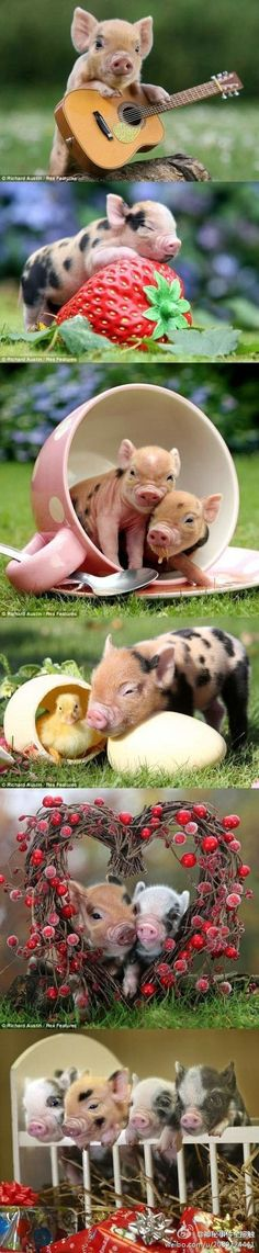 Such Adorable Baby Pigs! Super Cute Animals, Cute Little Animals, Little Pigs, Cute Funny Animals, Teacup Pigs, Cute Piggies, Baby Pigs, Cute Creatures, Animals Beautiful