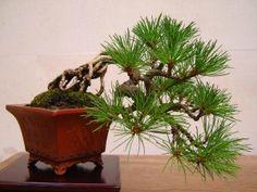 unusual bonsai, pine bonsai