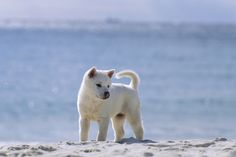 Kishu Inu (Canis familiaris) puppy on the beach