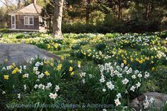 Daffodils and the summerhouse (4-26-13)