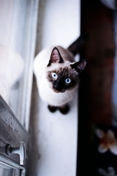 siamese cat on a window sill | animals + pet photography