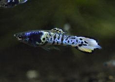 Japan blue Galaxy(Hybrid Tiger Strain)