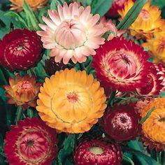50 Straw flower Seeds Helichrysum Bracteatum Ornamental Garden Flowers