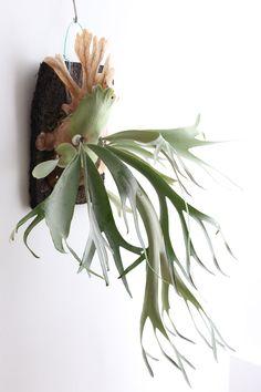Platycerium bifurcatum - Hertshoornvaren. Staghorn fern. Mist. Submerge in water every two weeks. Air Purifier.