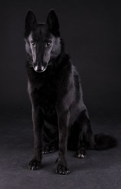 Wicked Training Your German Shepherd Dog Ideas. Mind Blowing Training Your German Shepherd Dog Ideas. German Shepherd Colors, Belgian Shepherd, German Shepherd Dogs, German Shepherds, Big Dogs, I Love Dogs, Dogs And Puppies, Doggies, Cocker Spaniel
