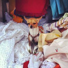 El gosset tenia fred i l'amo el va posar entre els retalls de la parada del mercat que li pertany...