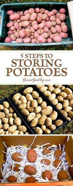 Do you grow your own potatoes or buy in bulk from the farmers market? Follow these five easy steps to keep your potatoes fresh all winter long. #Howtogrowvegetablesinyourowngarden