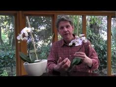 MOTH ORCHIDS - HOW TO GROW AND CARE FOR PHALAENOPSIS - YouTube