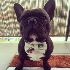 Mr. Matteo stylish at all times!  #frenchbulldog #dogbowtie #dogsofinstagram by funky_dog_bow_ties