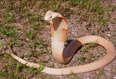 King Cobra World's largest poisonous Snake !!