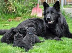 Shiloh/German shepard of some kind,  with adorable puppies!