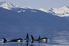 Alaska, Orca Whales (Killer Whales) surface in Lynn Canal, Chilkat Mountains in the distance, Inside Passage.