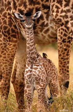 Baby giraffe and bird friend.  I would love to take pictures of giraffes in their natural environment.