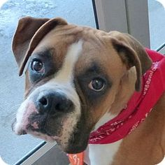 Valley View, OH - Boxer Mix. Meet Tuck and Roll - Kennel