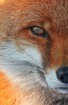 Fox portrait snow | by Disorganised Photographer - Ian Wade - Travel, Wil
