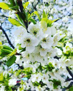 #природа #инстаприрода #деревья #дерево #деревьяцветут #садыцветут #груша #цветы #весна #красотаприроды #беларусь #инстабеларусь #белинста #nature #naturegram #beautiful #spring #tree #trees #flowers #garden #belarus #instanature #instabelarus #belinsta by red.woman