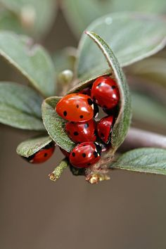 If you have Ladybugs, you have aphids. Don't spray anything - the ladybugs will take care of them, toxin free.