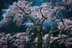 Cherry blossom in Minobu, Yamanashi, Japan