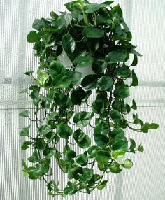 Pothos (Epipremnum Aureum): Pothos is widely cultivated plant in almost all parts of the world. It makes an excellent houseplant that does n...
