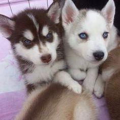 Husky Puppies!! ❤️