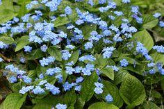 Omphalodes verna - ORMÖGA Omphalodes verna - Amerikaans vergeet-mij-nietje - Vaste planten | Maréchal