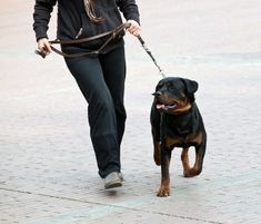Rottweiler Training – Your Guide to Raising This Loyal Breed - The Dog Training Secret - The Dog Training Secret