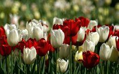 Tulips ❤ Tulipanes ❤
