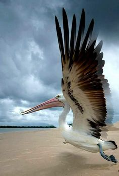 Passion for life - these pelicans live and breed all year at the - the perfect place to and - experience with Pretty Birds, Beautiful Birds, Animals Beautiful, Exotic Birds, Colorful Birds, Funny Bird, Animals Tattoo, Pelican Art, Pelican Tattoo