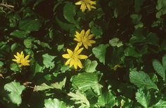 Salátaboglárka (Ficaria verna, Ranunculaceae) (Turcsányi Gábor felvétele) levelei mint sali fogyaszthatóak