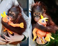 A zoo keeper holds baby orangutan Boo, a nine-month-old orphan, as he plays with a toy at the Madrid Zoo & Aquarium. Boo was born on July 52010 but lost his mother, Pundu, when he was only seven months old. Now 10-months-old, Boo is responding well to efforts by zoo keepers who are trying to get one of the female orangutans to adopt him.
