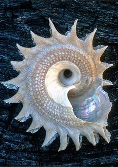 The patterns in this sea shell are unlike   anything I've ever seen.  Ever.