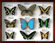 Mounted Butterfly Collection - Download From Over 29 Million High Quality Stock Photos, Images, Vectors. Sign up for FREE today. Image: 3611961