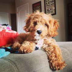 Cavapoo. I will definitely own one of these cuties one day.