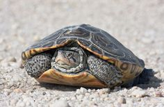 TERRAPIN - Yahoo Search Results Yahoo Image Search Results
