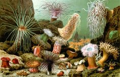 nashs-mango:  A painting of diverse sea anemones by Giacomo Merculiano, 1893.These cnidarians are predators feeding mainly on fishes and crustaceans. They have nematocysts containing very toxic actinotoxins that they shoot into prey with hair-like structures. These animals have a fossil record dating to the middle Cambrian (more than 500 million years ago), though having soft-tissue bodies, fossilization is rare. Also see this video with a live anemone being pursued by its own predator.