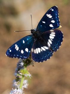 Sylvain azuré (Azuritis reducta) Southern White Admiral Butterfly by Sinkha63  Source: flickr.com