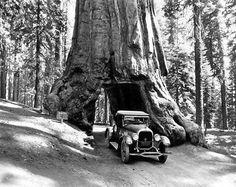 Public Domain Photo: The Wawona Tunnel Tree, Mariposa Grove, Yosemite Valley, California.