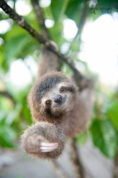 Sloths are my favorite animals they are my spirit animal! I'm an EXTREME sloth lover! Happy Animals, Animals And Pets, Funny Animals, Animals Kissing, Animal Puns, Animal Quotes, Cute Baby Sloths, Cute Sloth, A Sloth