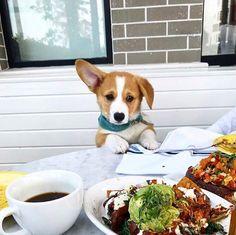 Corgi waiting for breakfast!!http://ift.tt/2InhBNR