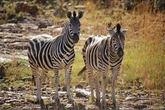 Pilanesburg, Pilanesberg National Park, South Africa - A couple of zebras posed for me in pilansberg national park.
