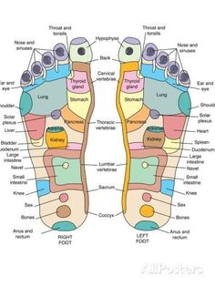 Shiatsu Massage Take a look at the 'Reflexology foot map, artwork. Reflexology is a form of alternative medicine in which' prints from Media Storehouse Acupressure Treatment, Acupressure Points, Reflexology Foot Map, Reflexology Benefits, Foot Chart, Foot Massage, Massage Table, Alternative Medicine, Alternative Health